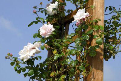 róża pnąca do ogrodu